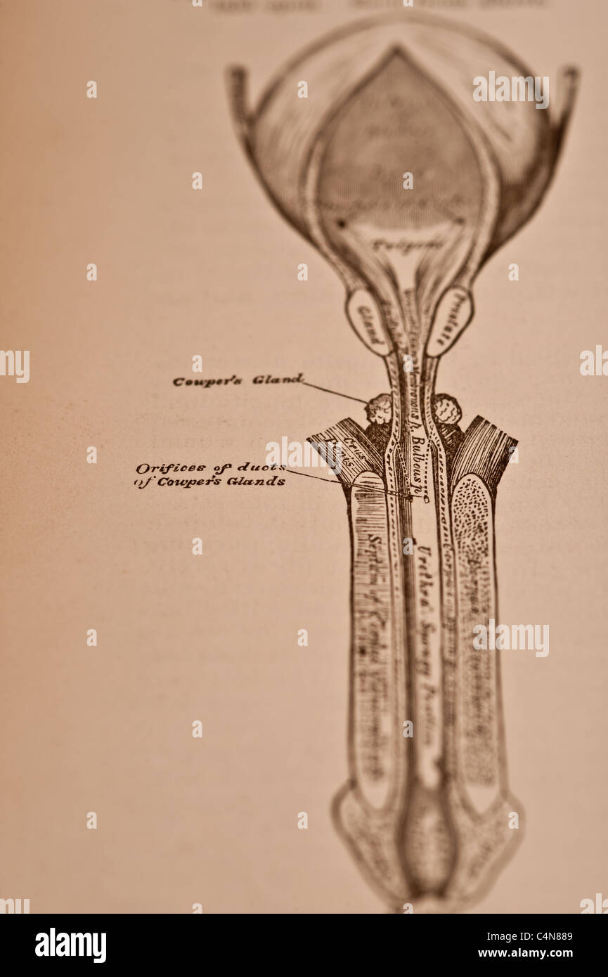 Anatomy Descriptive and Surgical Copyright 1883 Gray\'s Anatomy Henry ...
