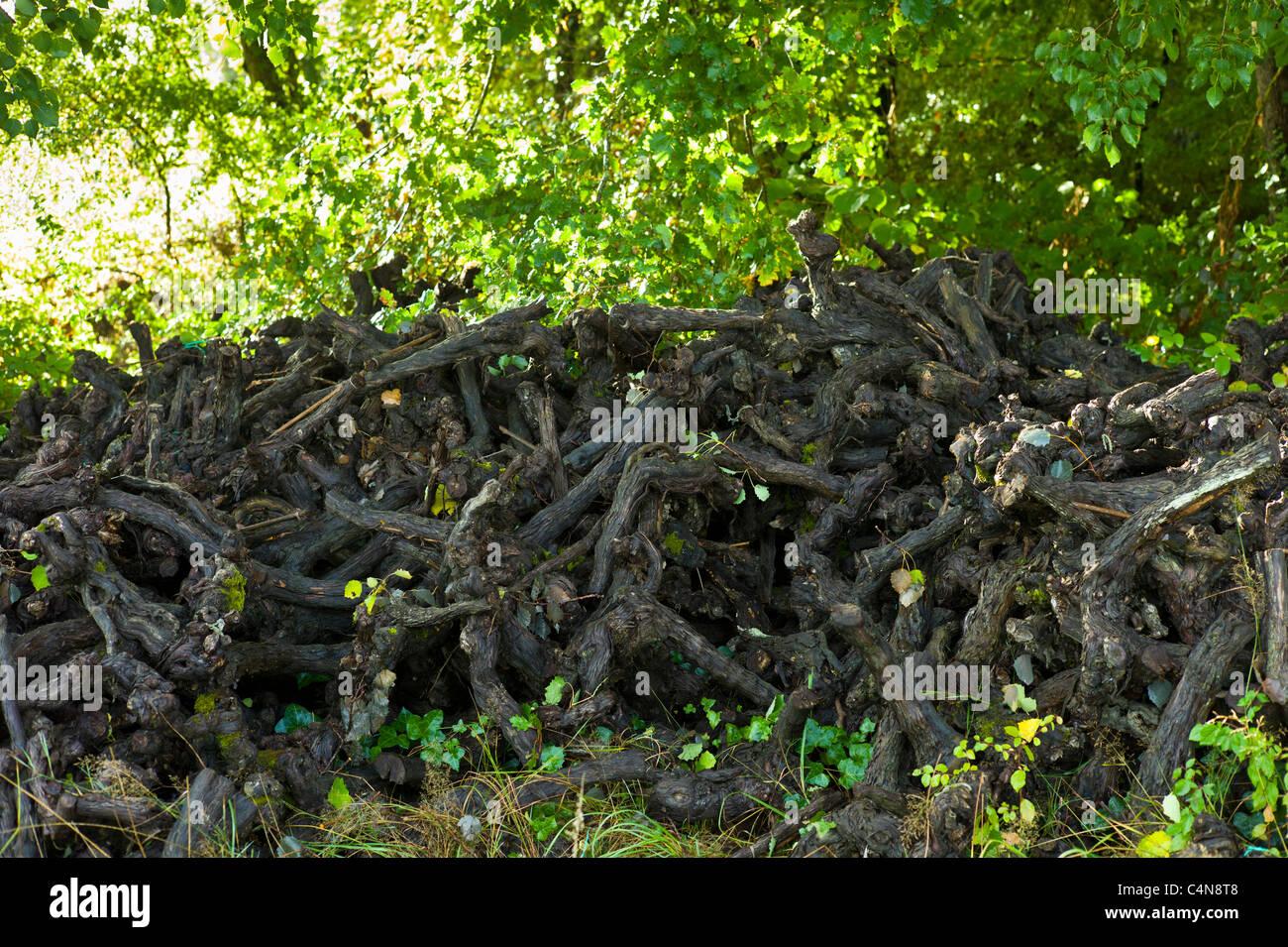 Stumps of old pruned vine stalks in wine region of Bordeaux, France - Stock Image