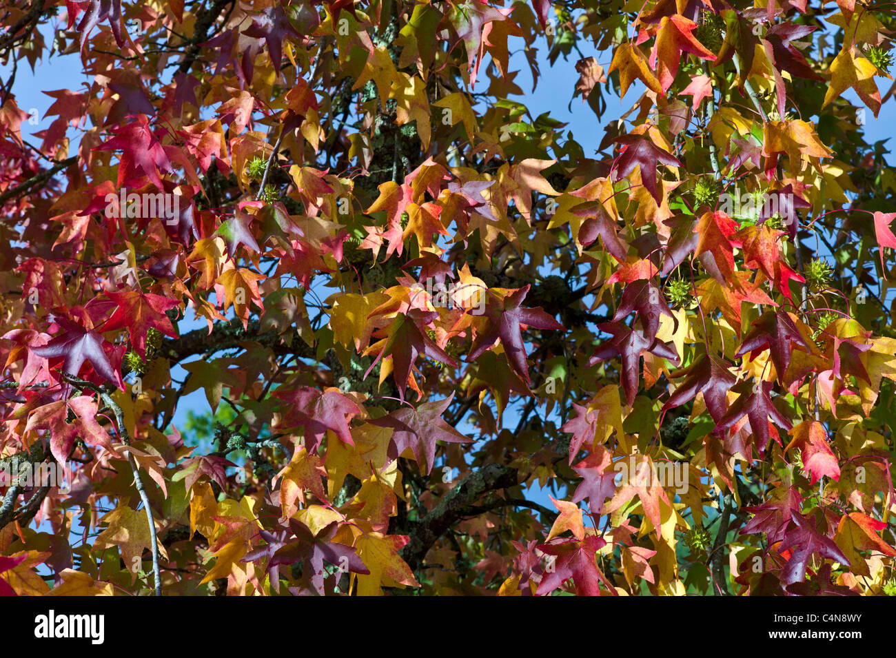 Autumn color leaves on maple tree in Bordeaux, France - Stock Image