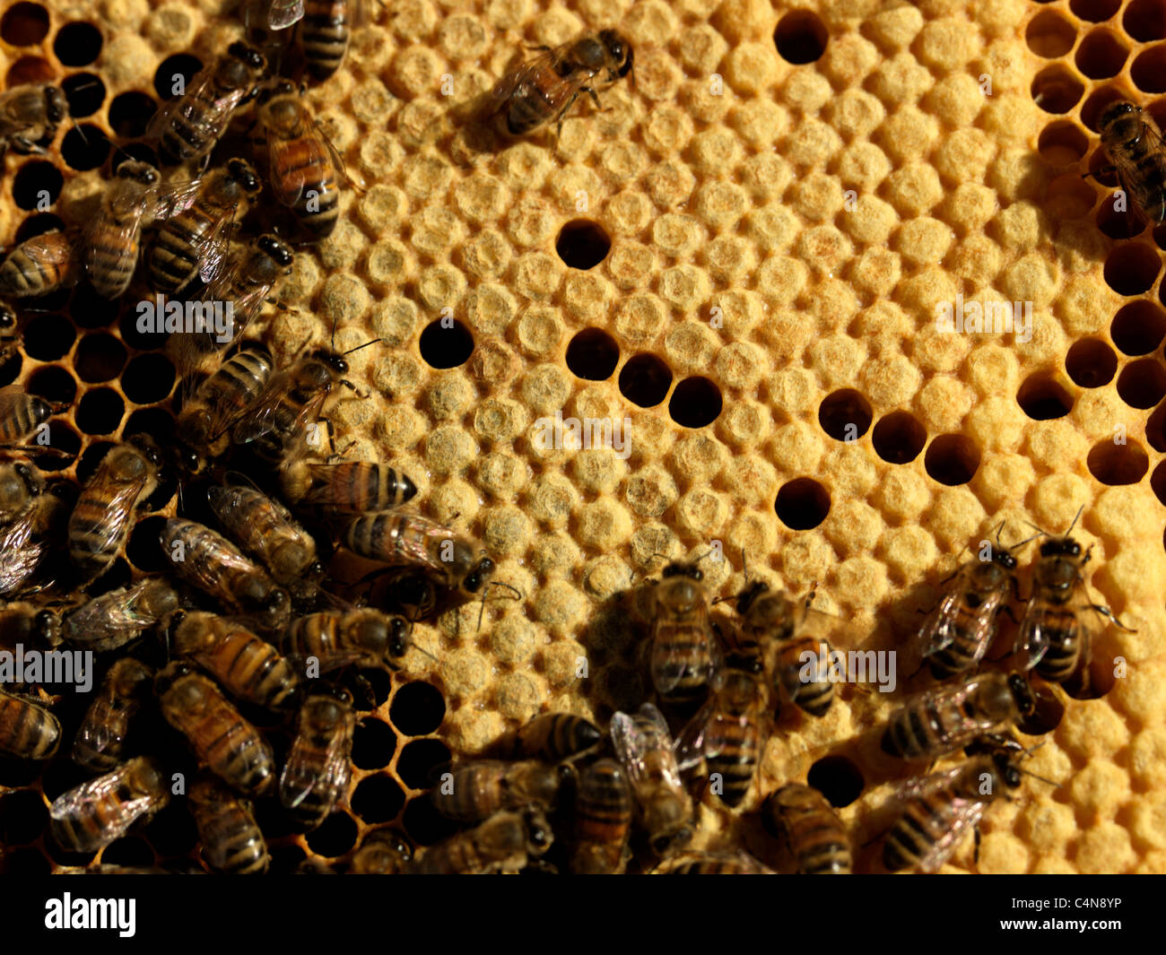Honey Bees In Hive Showing Sealed Brood - Stock Image