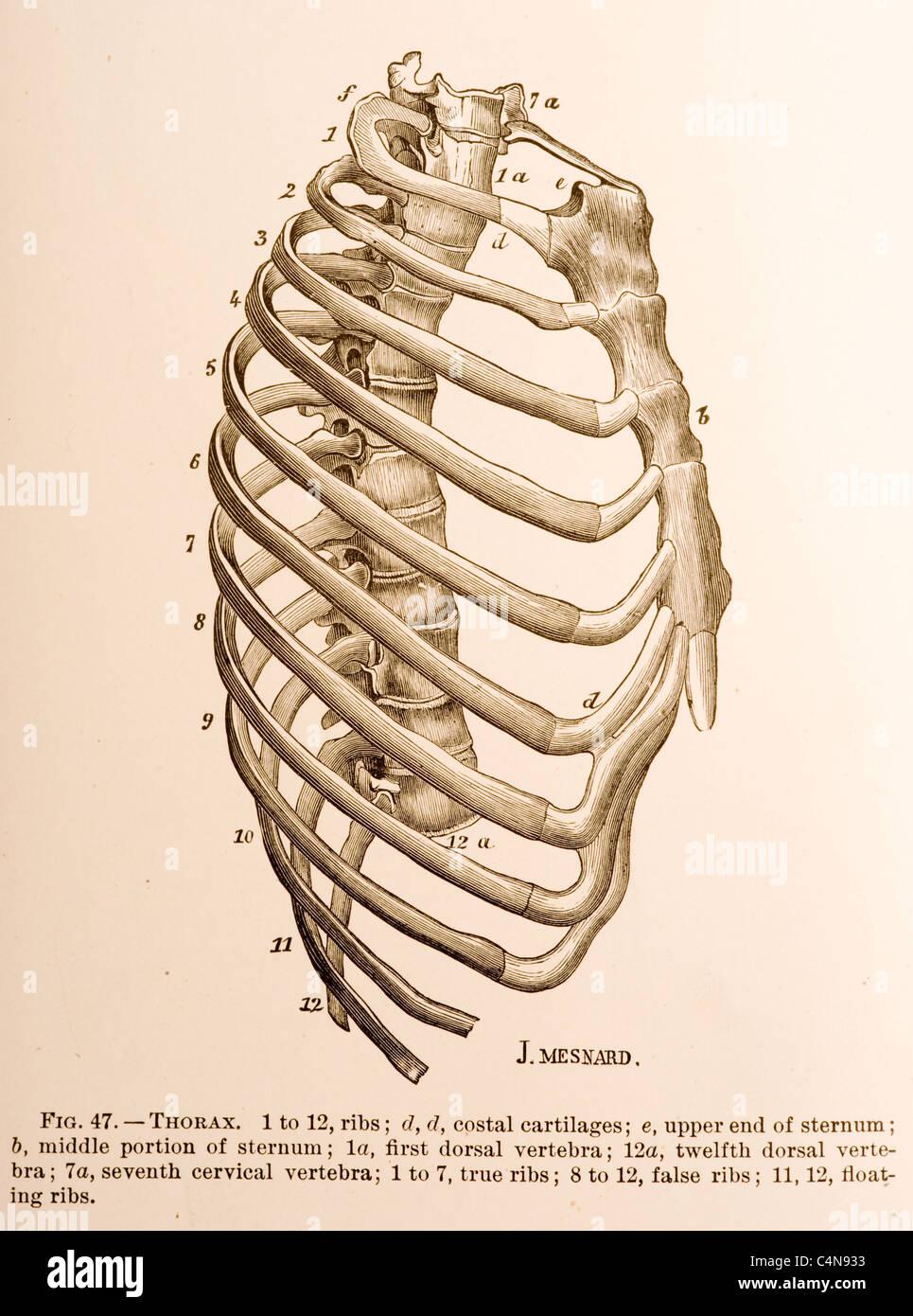 Großartig Sternum Galerie - Anatomie Und Physiologie Knochen Bilder ...