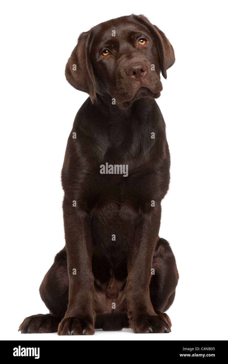 Labrador Retriever puppy, 5 months old, sitting in front of white background - Stock Image