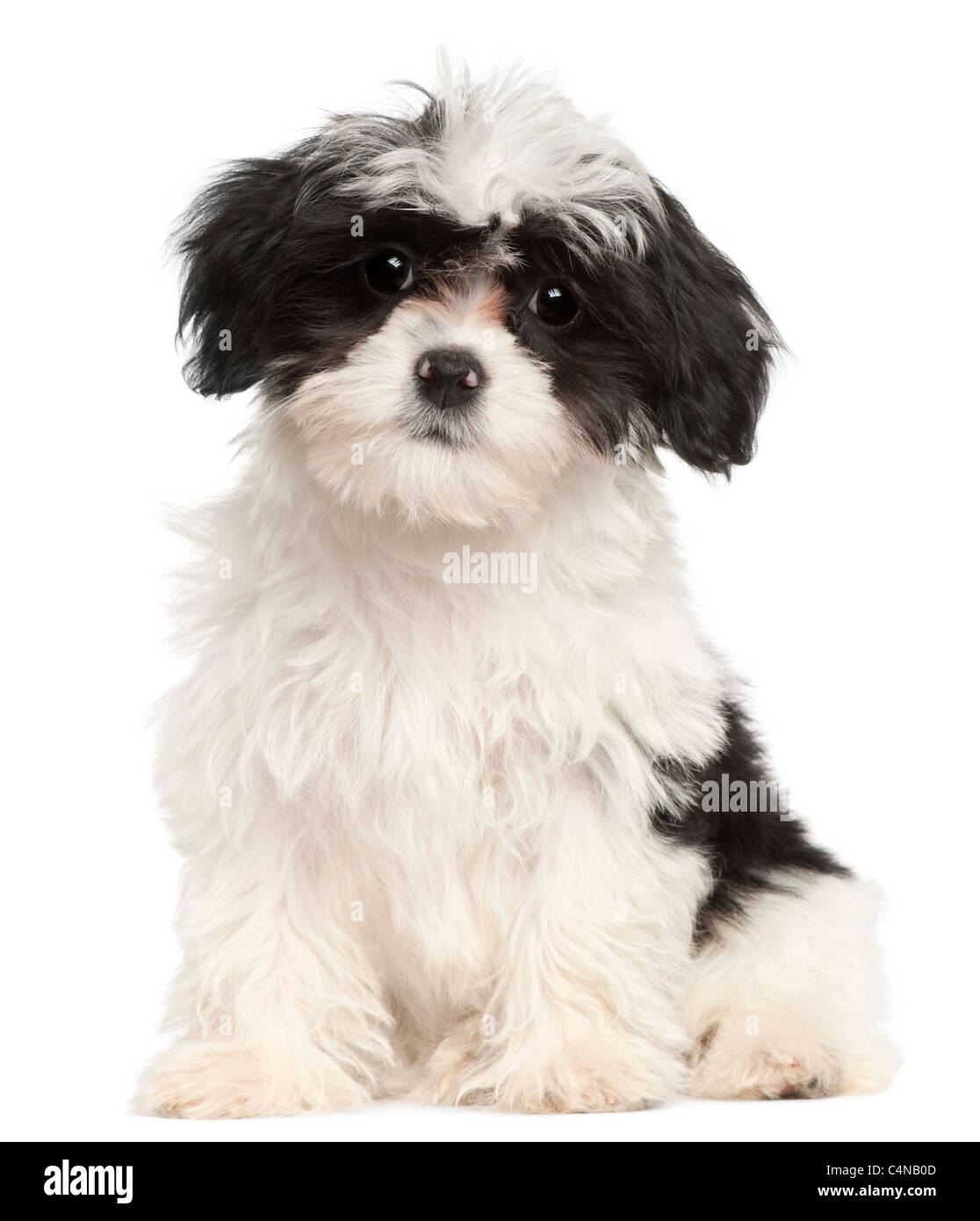Havanese puppy, 12 weeks old, sitting in front of white background - Stock Image