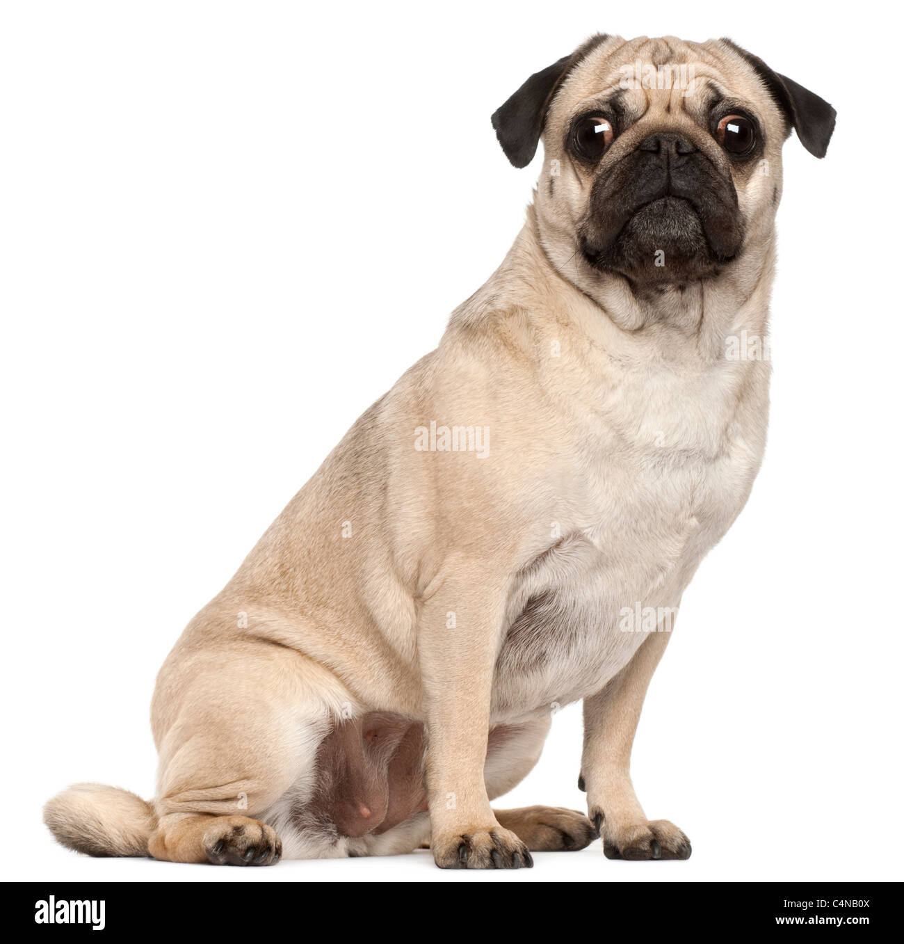 Pug, 3 years old, sitting in front of white background - Stock Image
