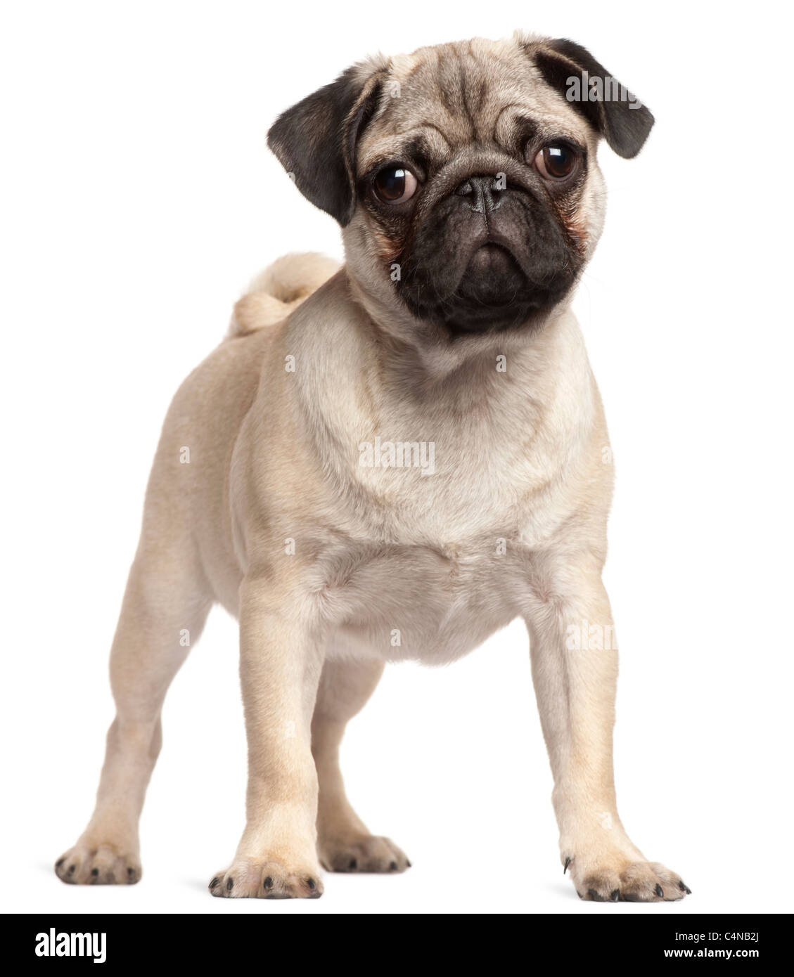 Pug puppy, 3 months old, standing in front of white background - Stock Image