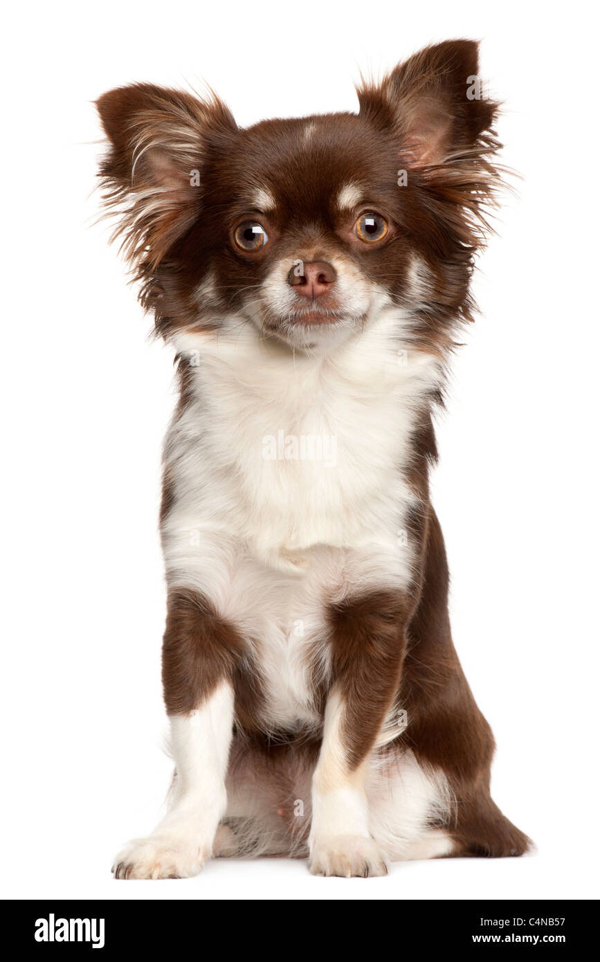 Chihuahua, 1 year old, sitting in front of white background - Stock Image