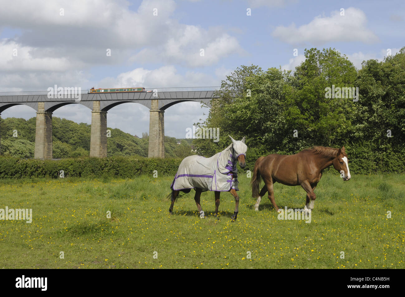 Horses with Pontycysyllte aquaduct in the background. - Stock Image
