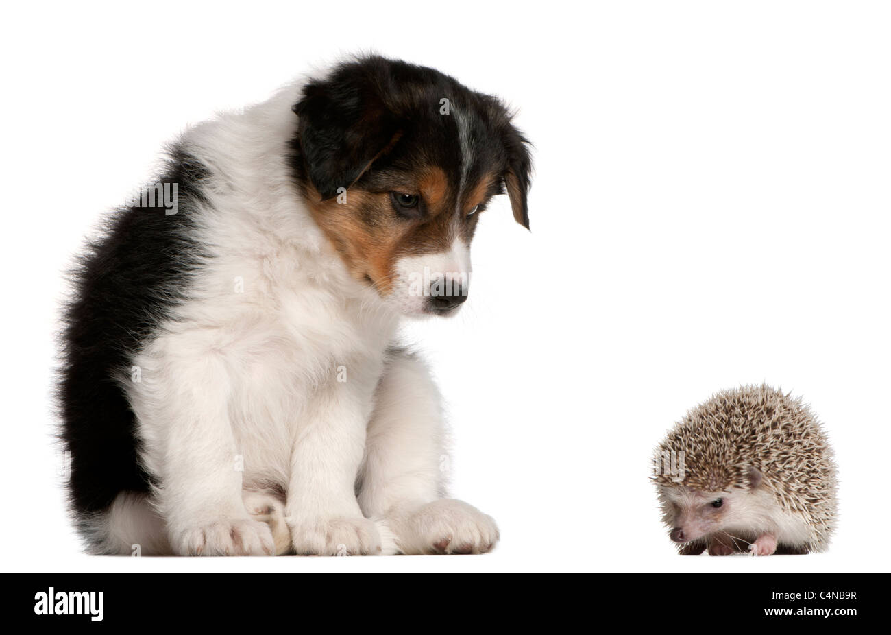 Border Collie puppy, 6 weeks old, playing with a hedgehog, 6 months old, in front of white background - Stock Image