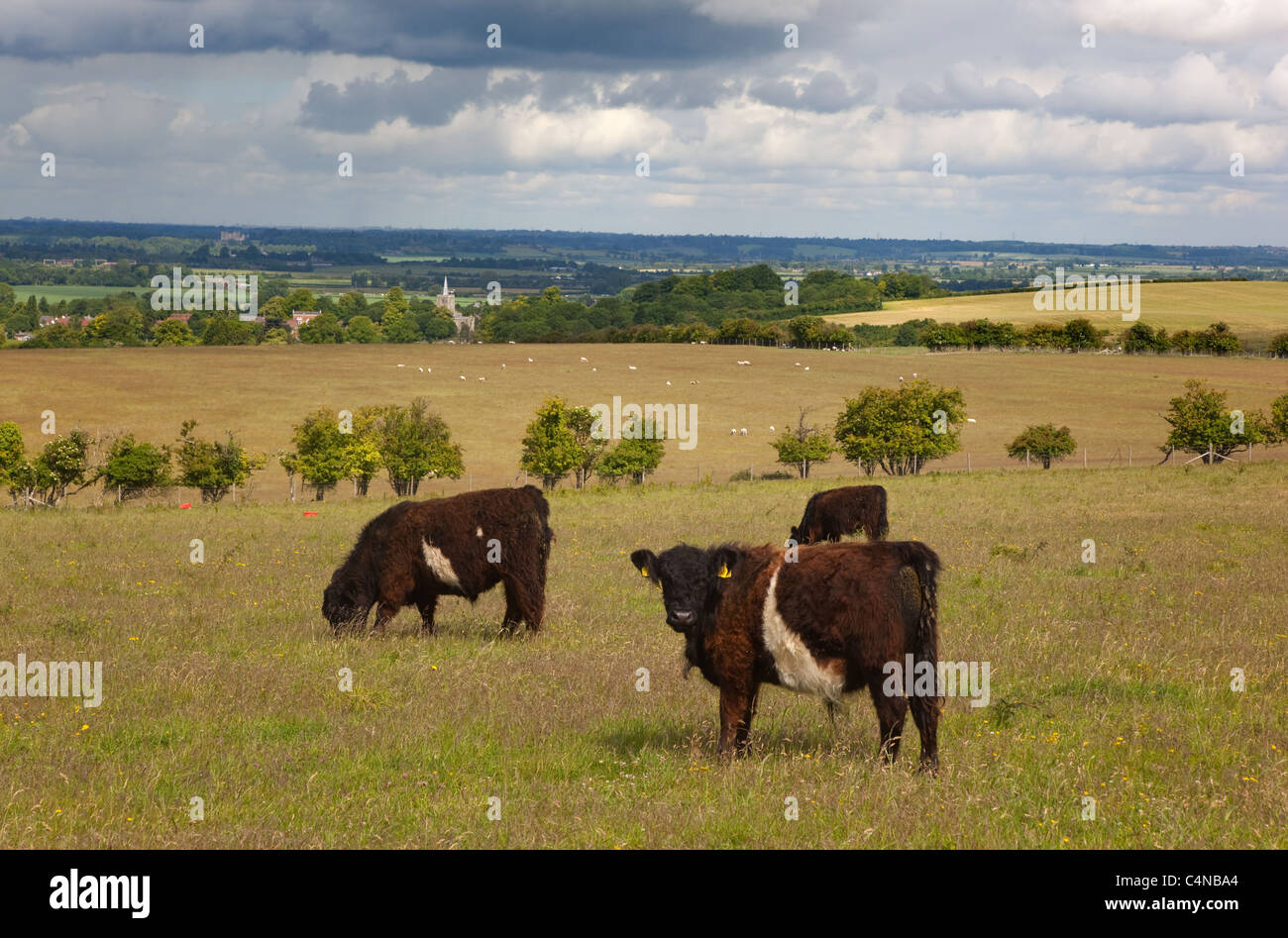 Shetland cattle and Ivinghoe church Chilterns Buckinghamshire - Stock Image