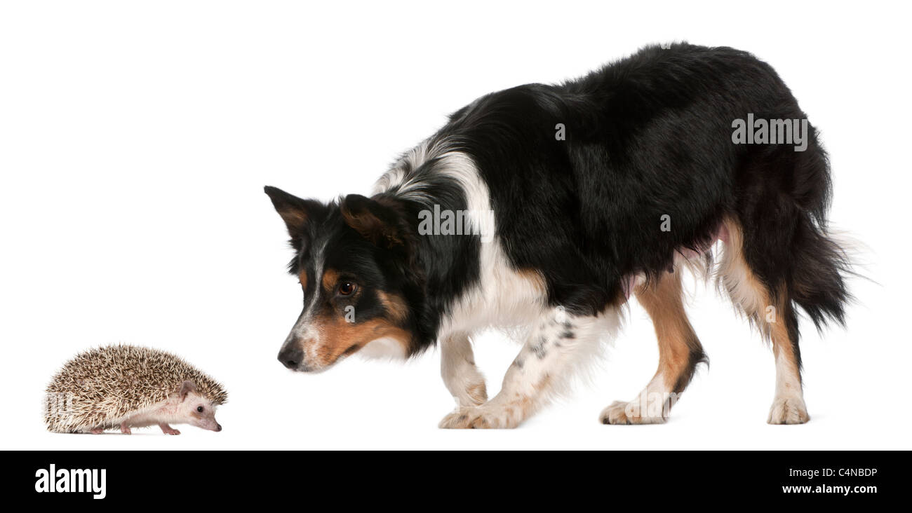 Female Border Collie, 3 years old, playing with hedgehog, 6 months old, in front of white background - Stock Image
