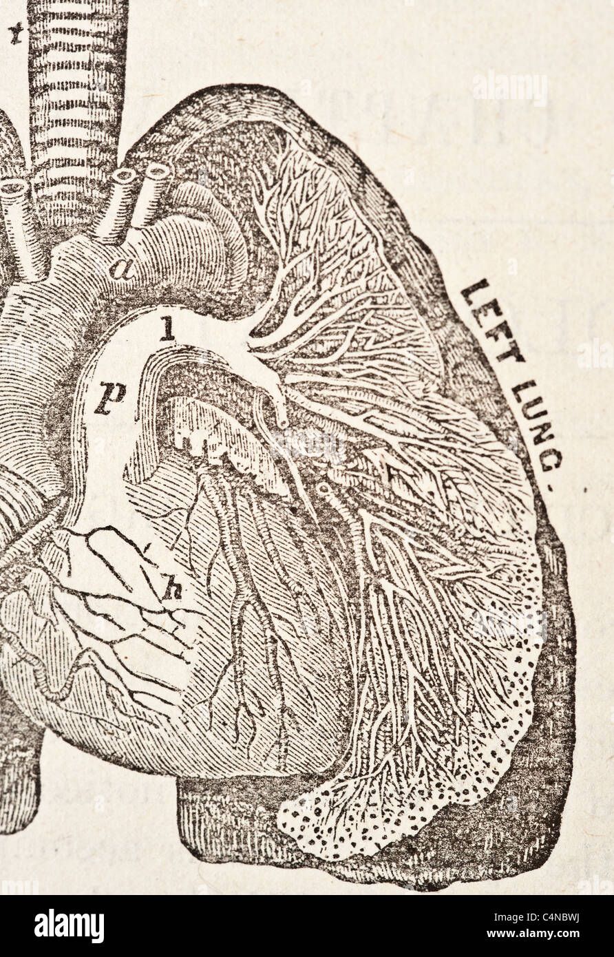 Antique medical illustration of a human heart and cardiovascular system - Stock Image