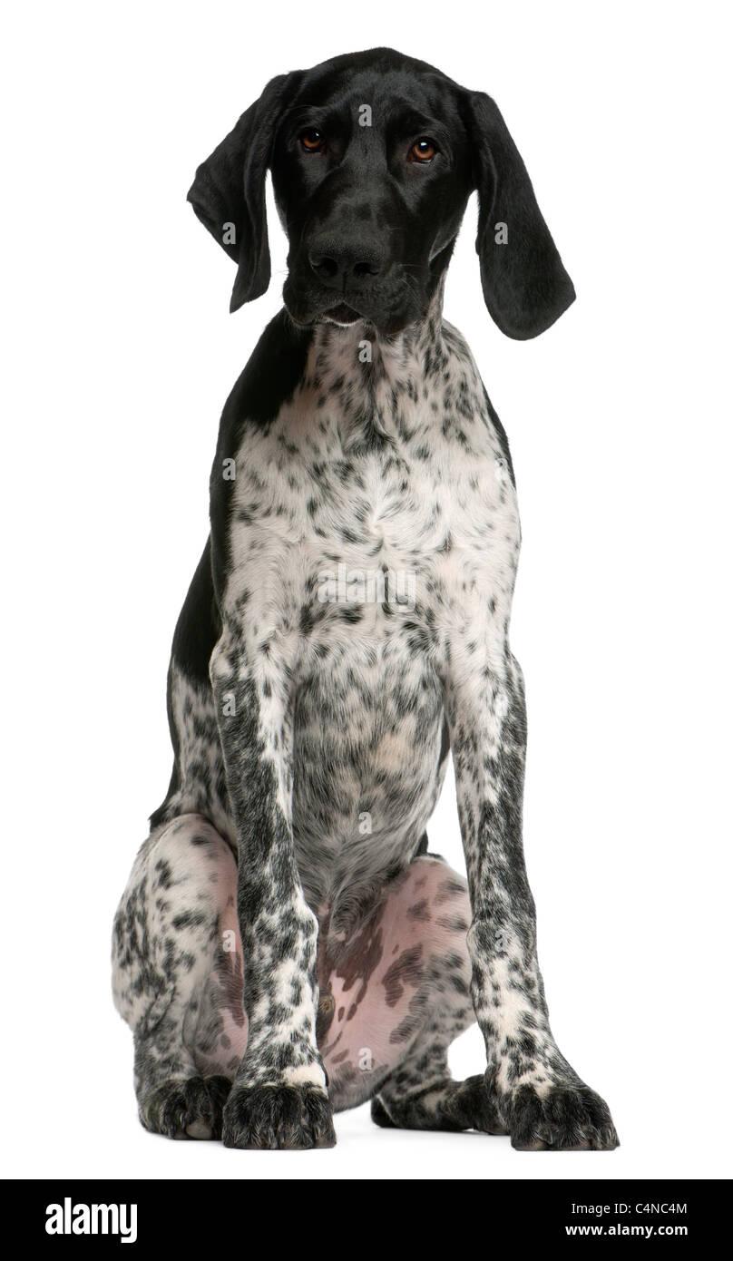 German Shorthaired Pointer Dog Puppy Stock Photos & German ...