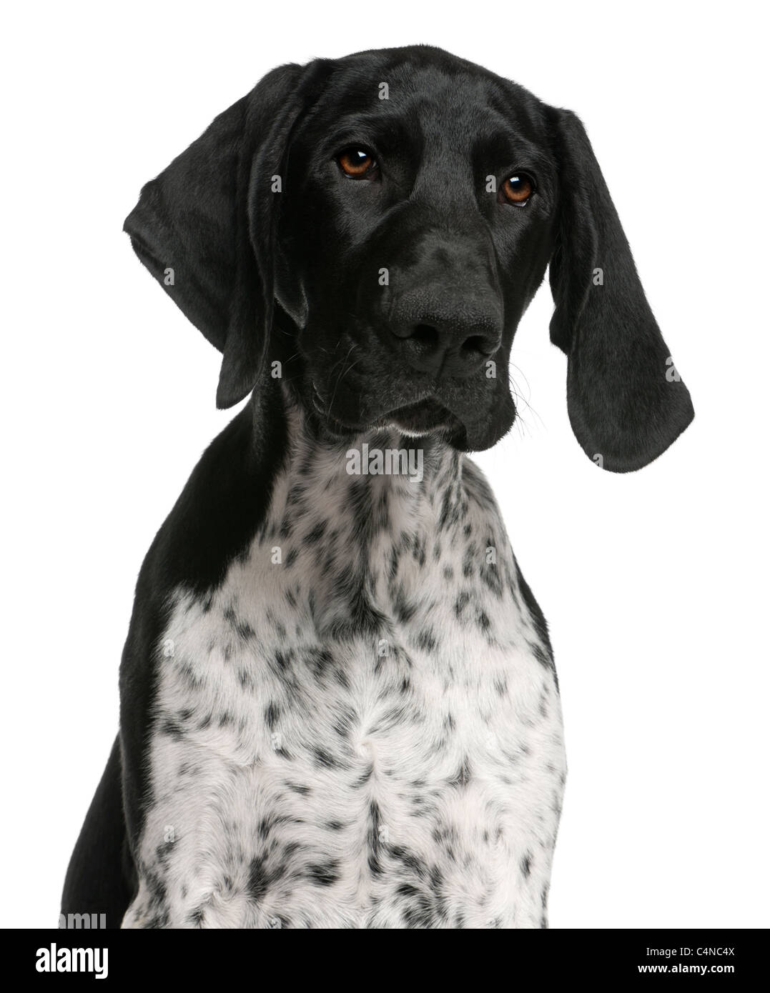 German Shorthaired Pointer Puppy Stock Photos & German Shorthaired ...