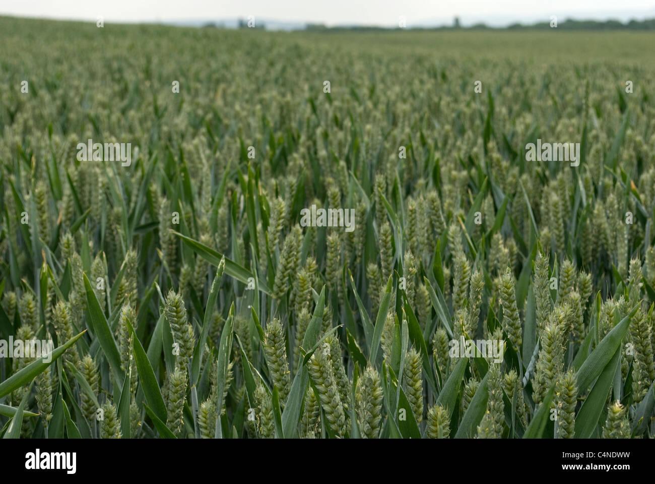 Unripe wheat field - Stock Image