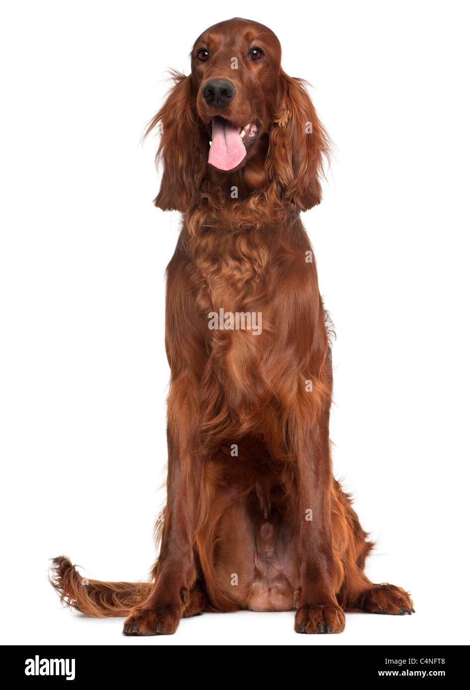 Irish Setter, 1 year old, sitting in front of white background Stock Photo