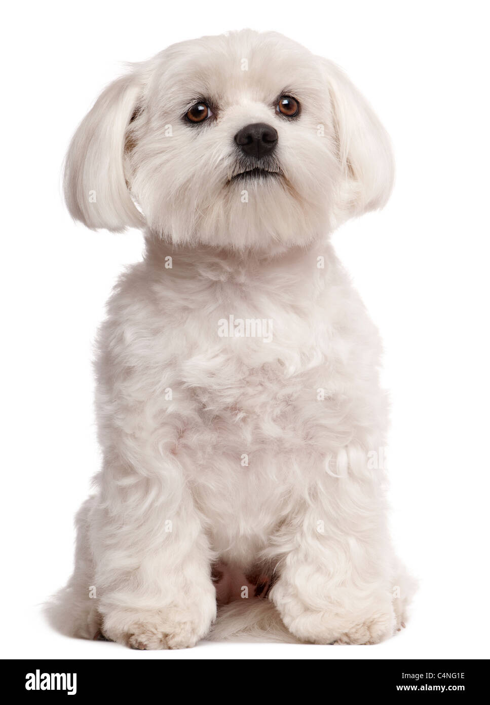 Maltese, 2 years old, sitting in front of white background - Stock Image