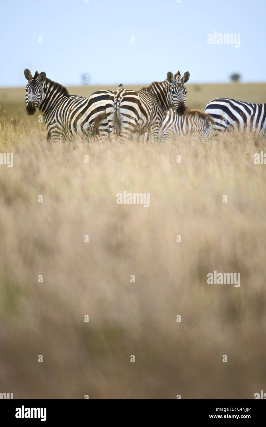 Zebra in Serengeti National Park, Tanzania, Africa - Stock Image