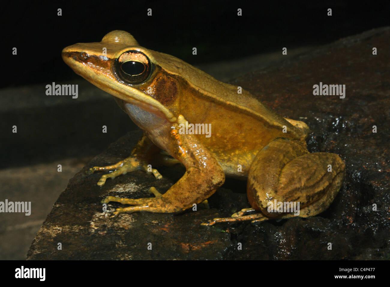 Bronzed Frog (Hylarana temporalis) - Stock Image