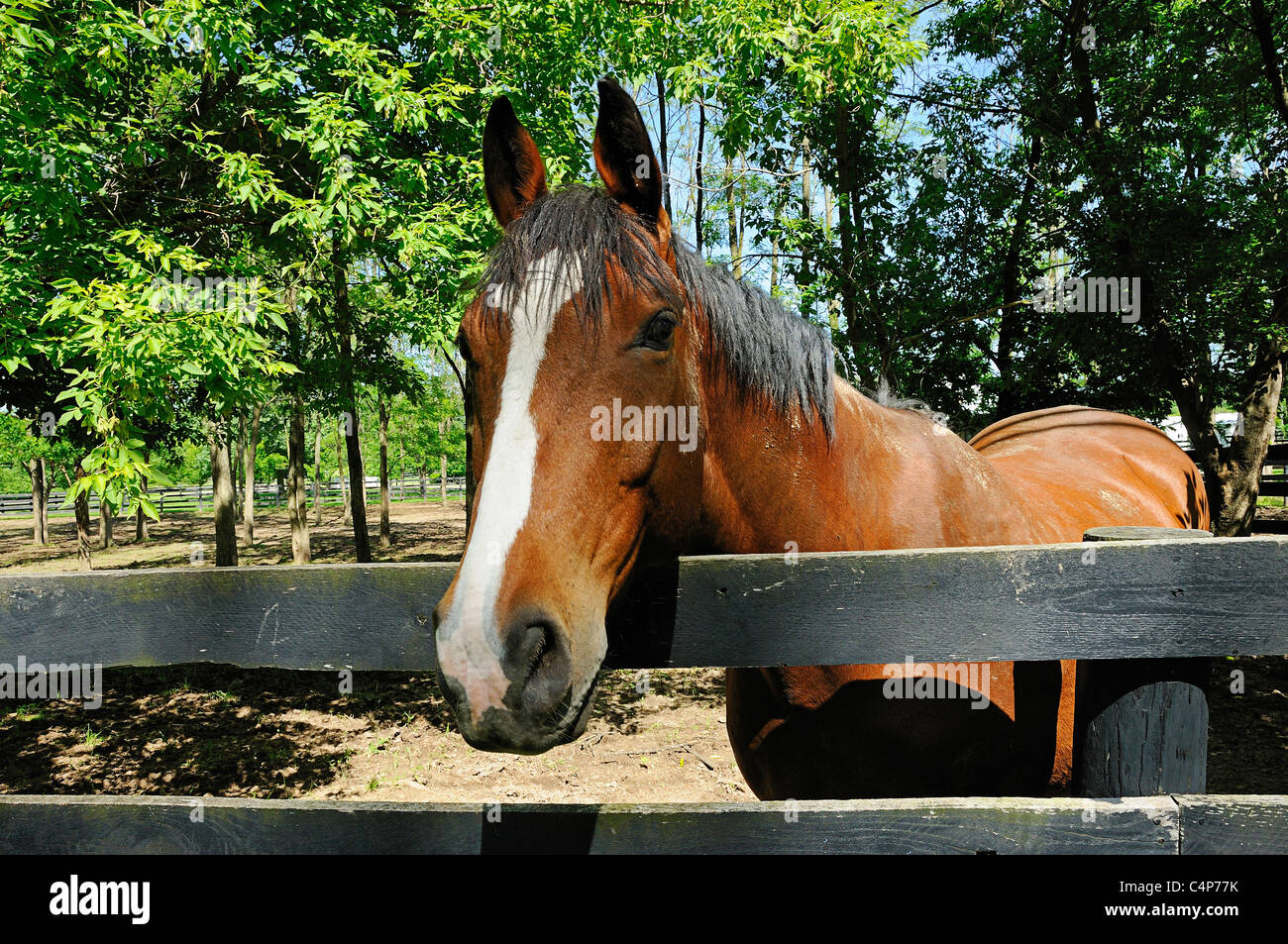 Handsome chestnut gelding looking over his corral fence with his ears alertly forward. - Stock Image