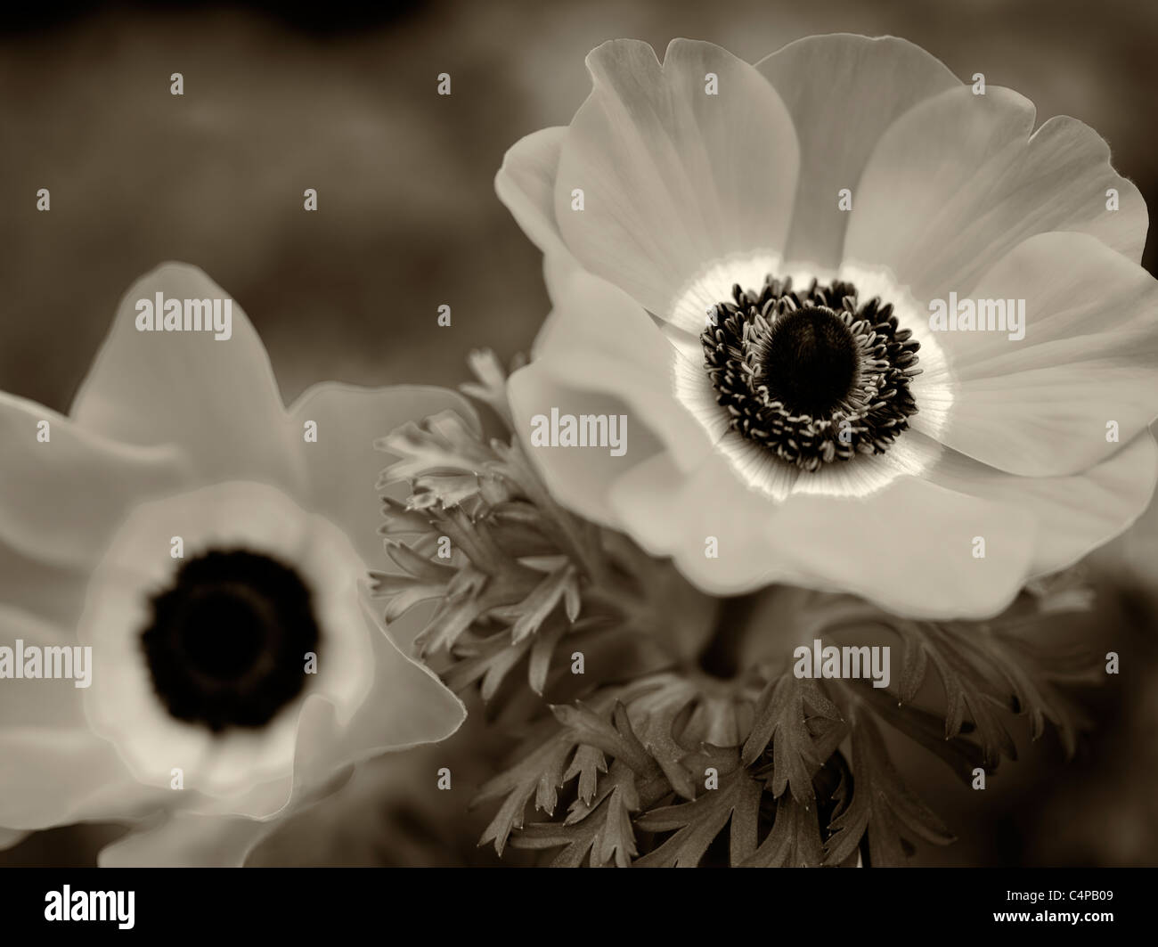 Close up of Harmony Scarlet Anemone - Stock Image