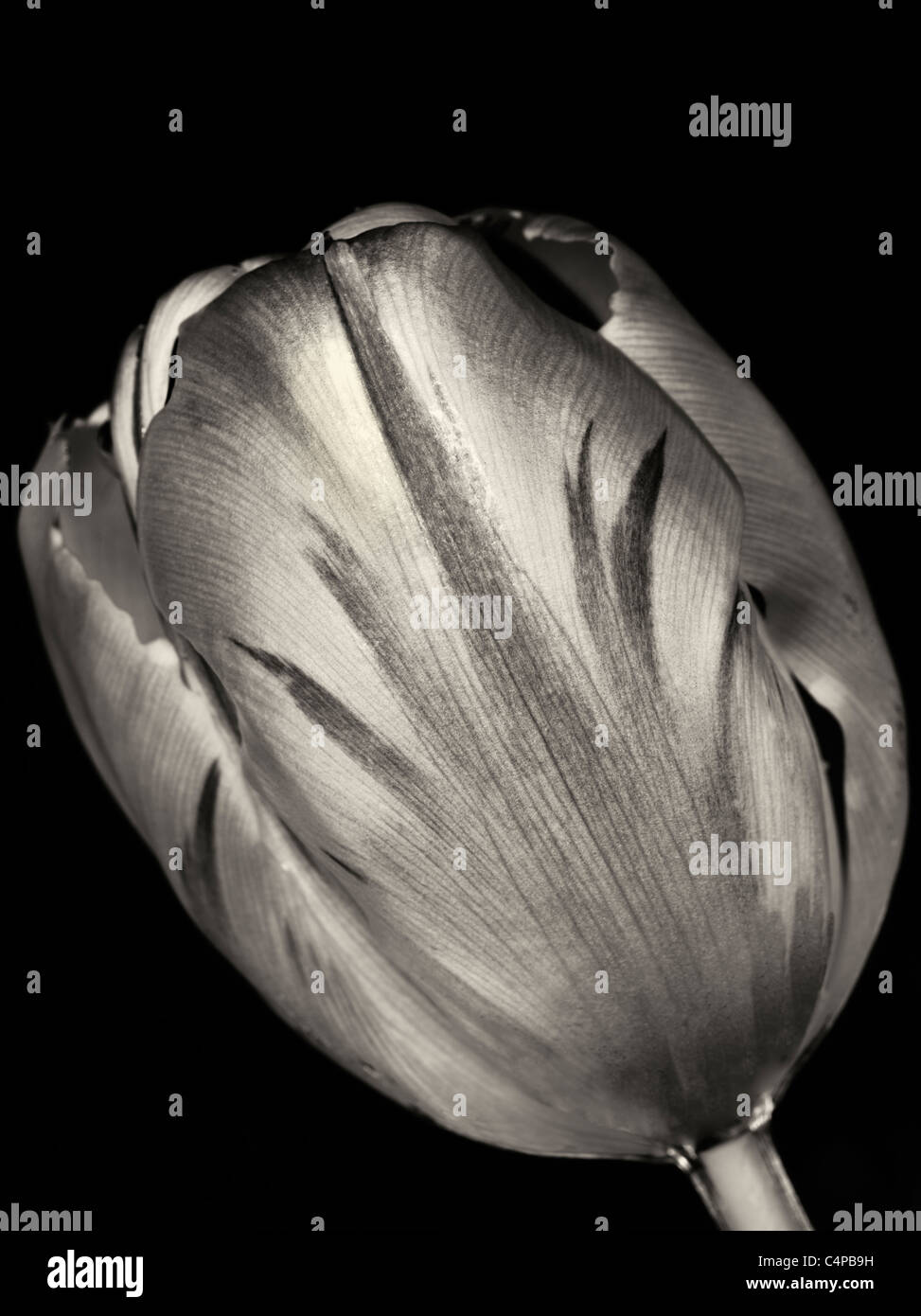 Tulip as seen from underwater. - Stock Image