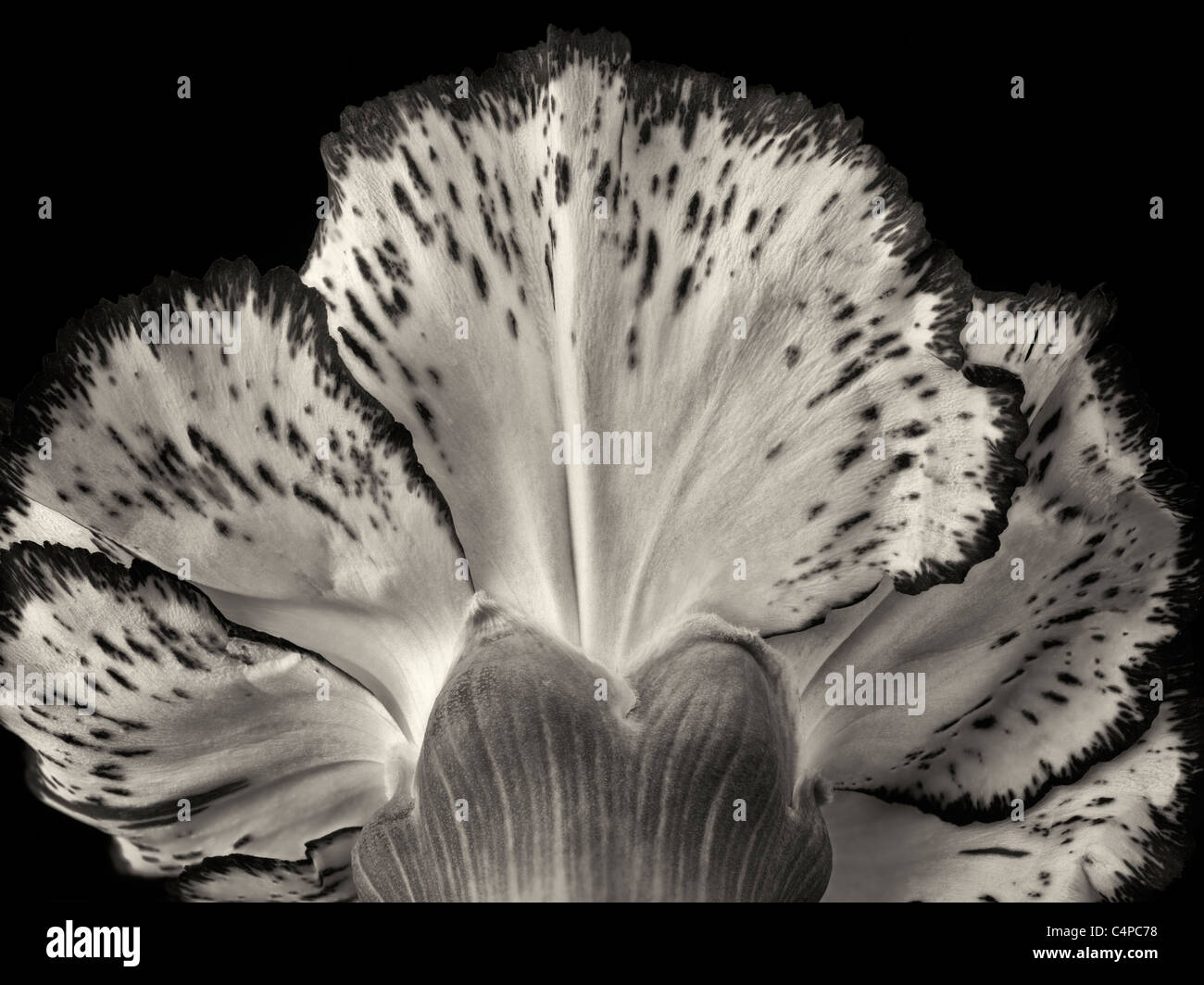 Close up of carnation flower. - Stock Image