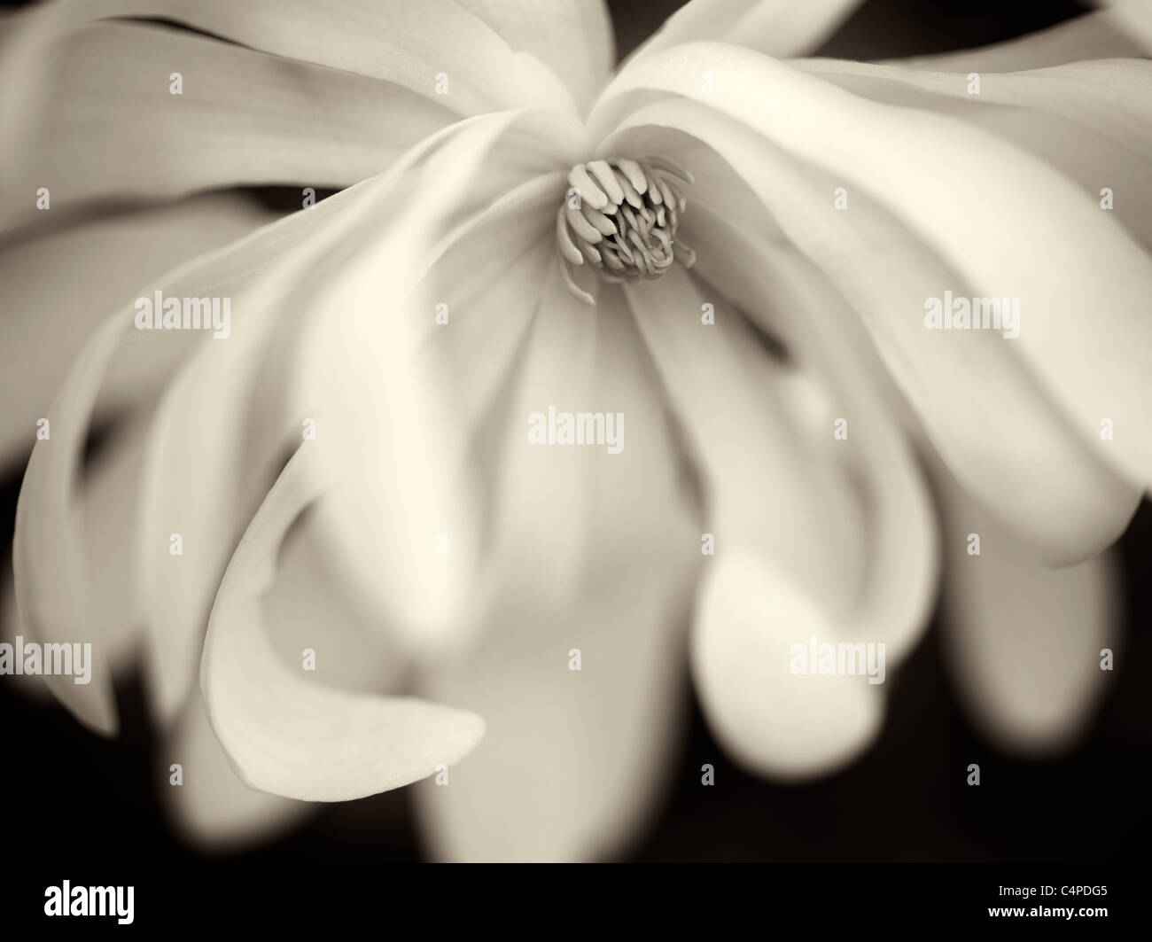 Close up of Royal Star Magnolia (magnolia stellata). Oregon - Stock Image