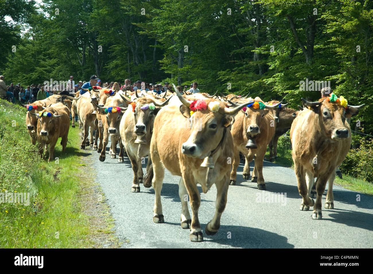 On Lozère's annual Fete de Transhumance a group of flower-decorated Aubrac cattle arrives at the Col de - Stock Image