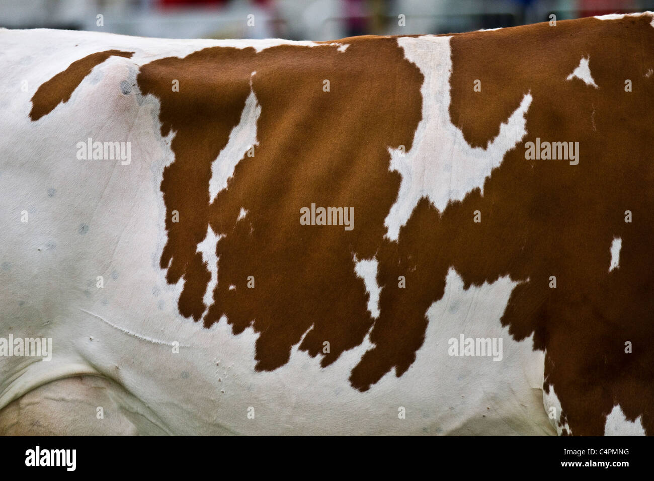 Ayrshire Cattle, British cows; dairy breed with  brown & white markings. Events and Competitors at the Cheshire - Stock Image