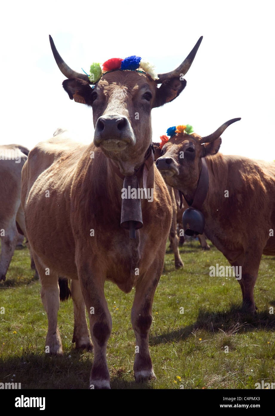 Paper flowers adorn the horns of an Aubrac cow during the annual Fête de Transhumance, i.e.moving herds to/from - Stock Image