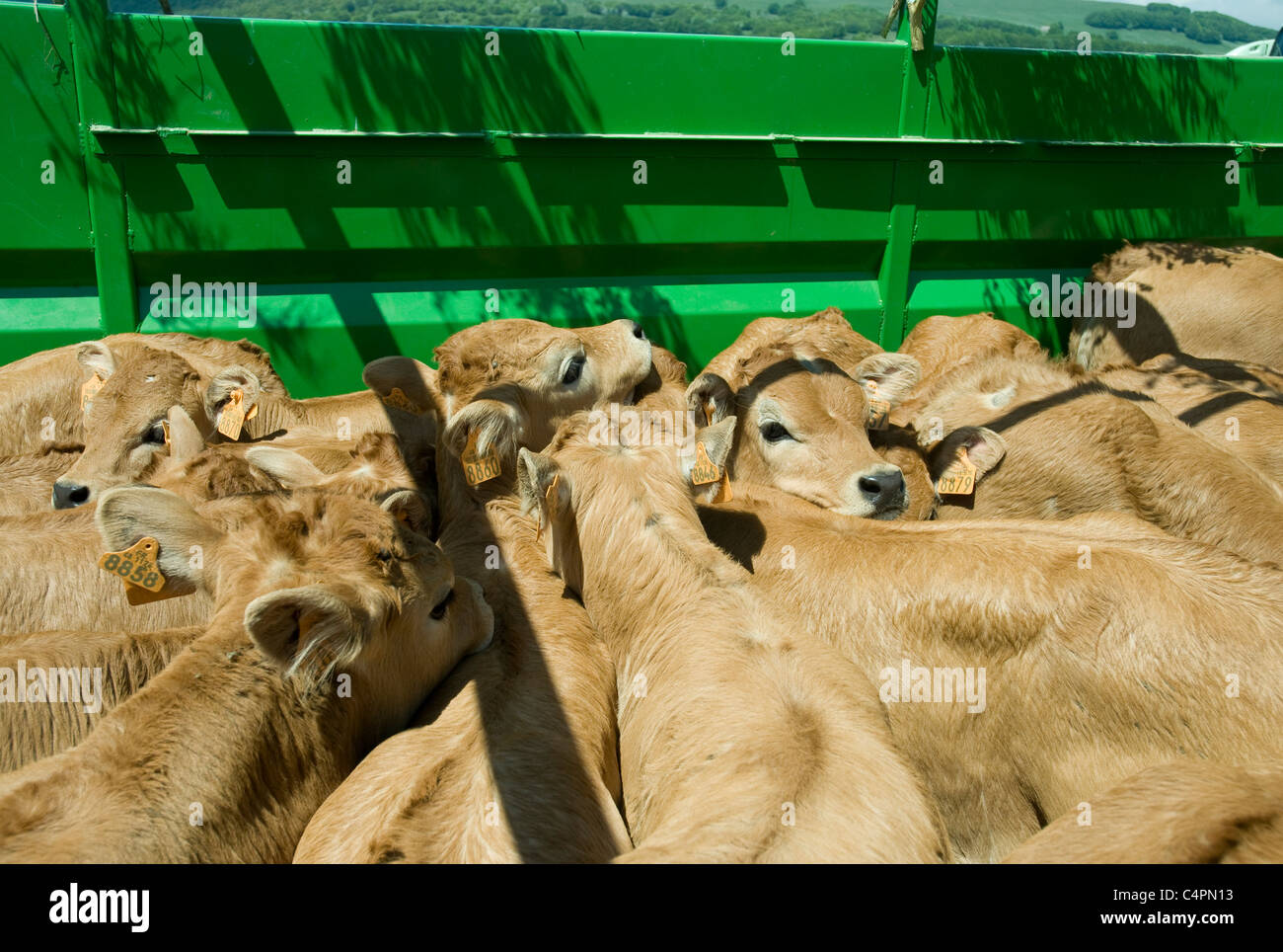 Calves closely packed in a truck while their mothers moo loudly in a nearby field during Lozère's annual - Stock Image