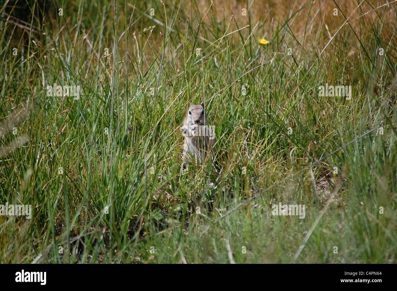 young marmot in the grasses of yosemite national park - Stock Image