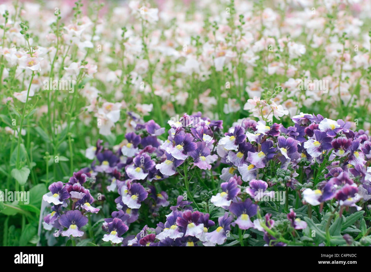 Blooming Pansy Flowers, spring meadow - Stock Image