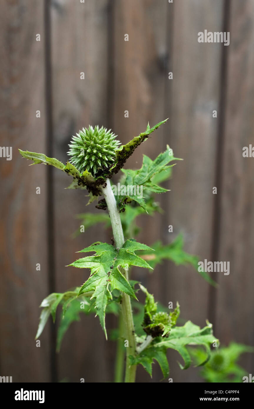 Ants herd black aphids onto globe thistle leaves and flowers. - Stock Image