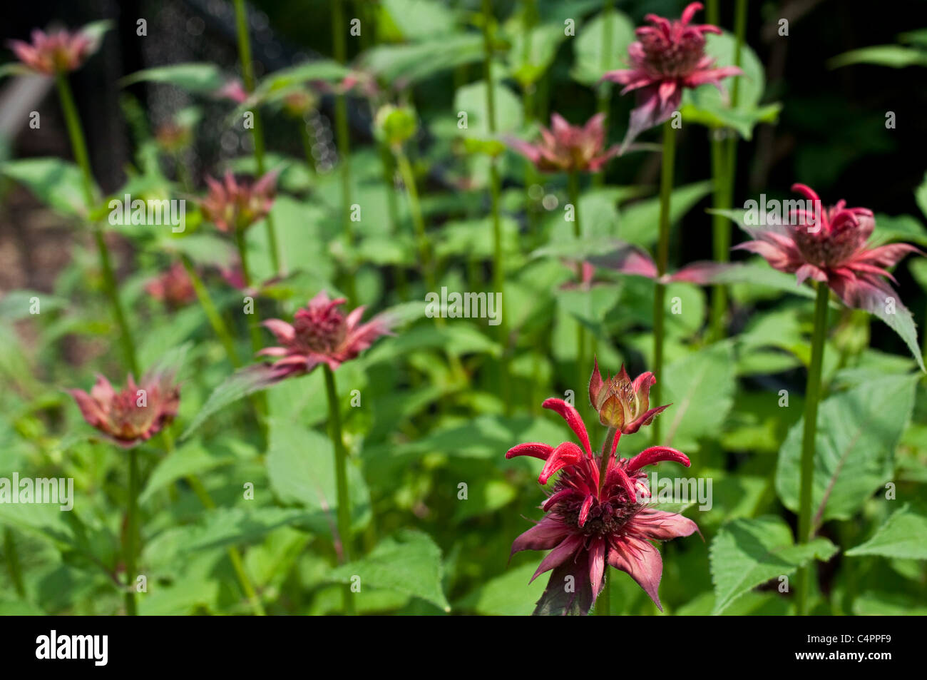 Dark pink Monarda (Bee Balm) in bloom. - Stock Image