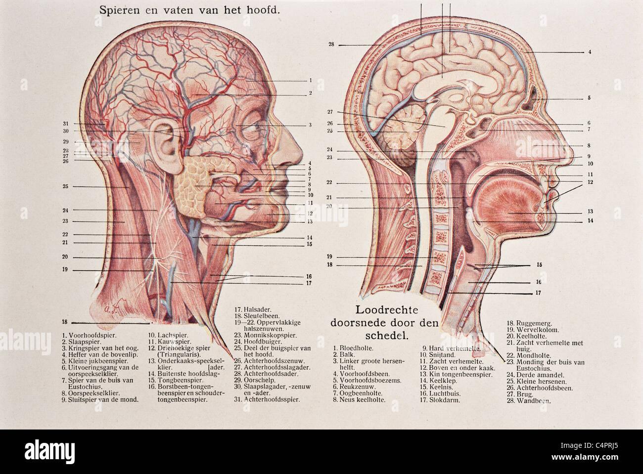 Antique medical illustration of skull, cranium, brain, head, face ...