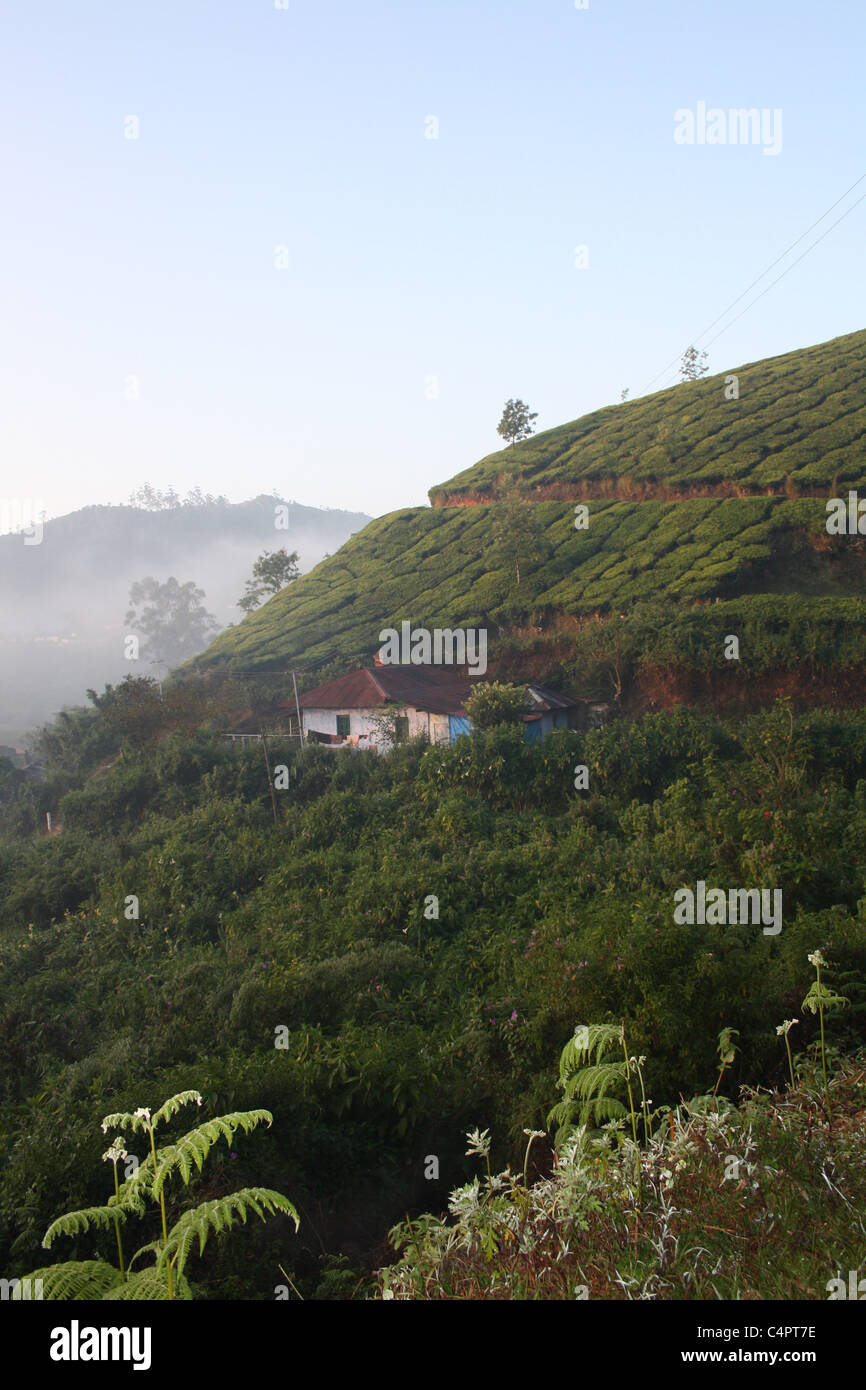 Misty early morning in the Tea plantations of Munnar India. - Stock Image