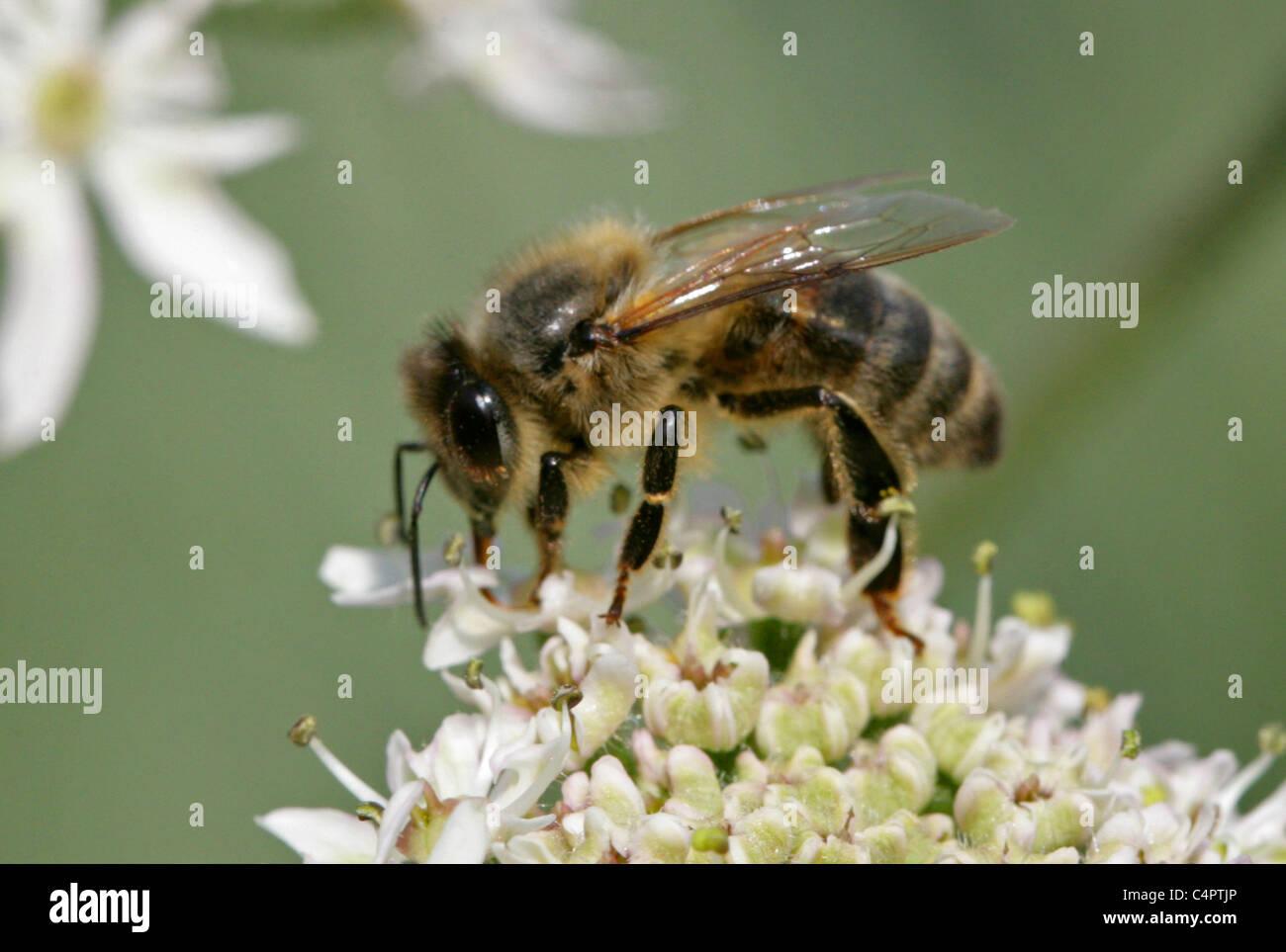 European or Western Honey Bee, Apis mellifera, Apinae, Apidae, Apocrita, Hymenoptera syn Apis mellifica - Stock Image