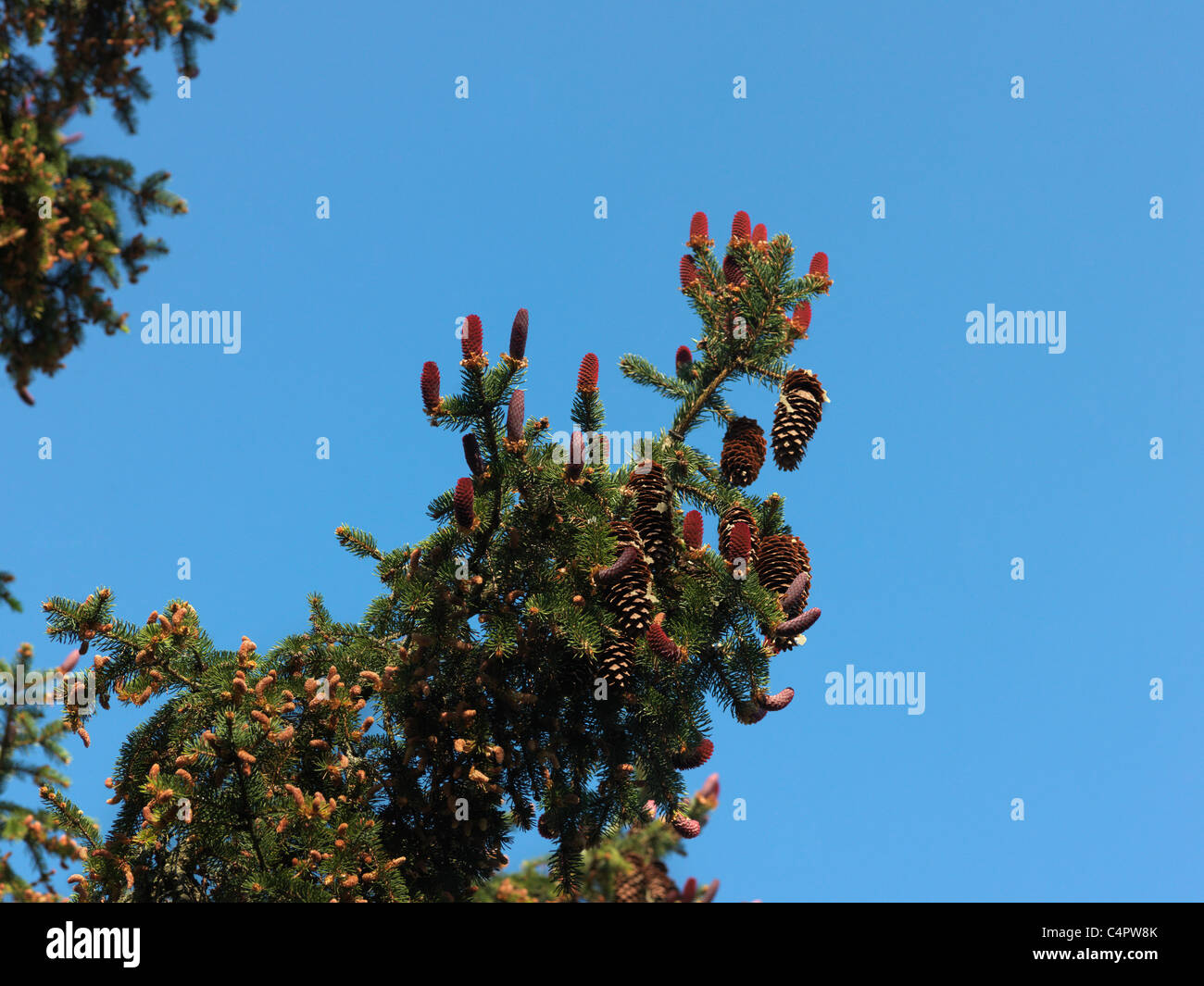 New Red Pine Cones Forming on Pine Tree - Stock Image