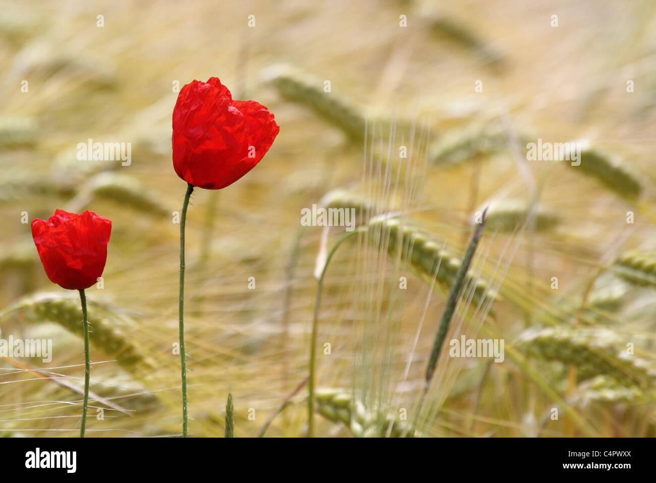 poppy in wheat field - Stock Image