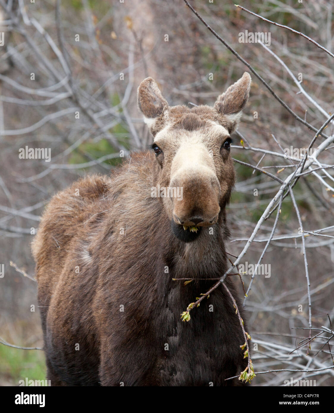 Moose Cow Eating Willows - Stock Image