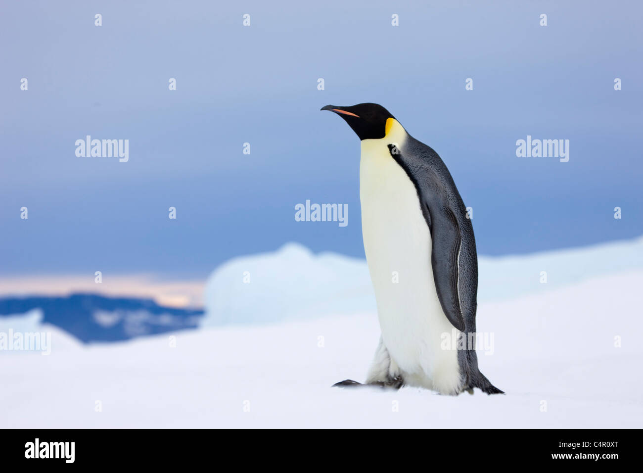 Emperor Penguin on Snow Hill Island, Antarctica - Stock Image