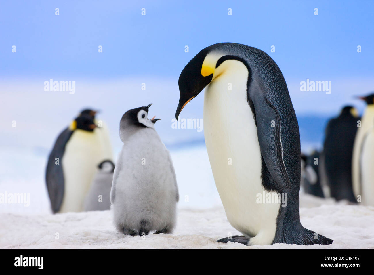 Emperor Penguins, parent with chicks on ice, Snow Hill Island, Antarctica - Stock Image