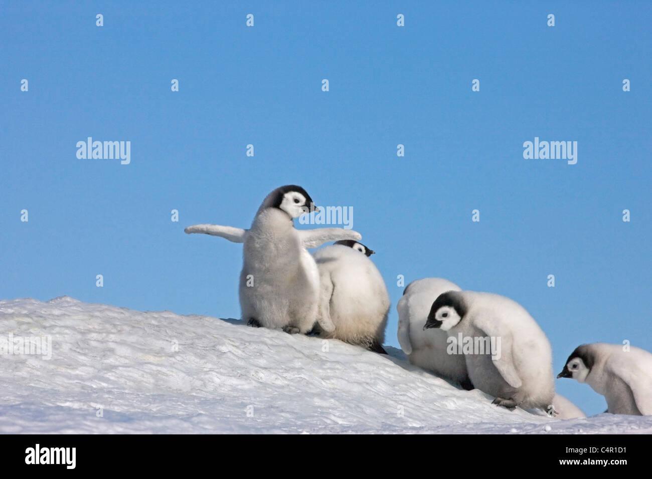 Emperor Penguin chicks on a small snow mound, Snow Hill Island, Antarctica - Stock Image