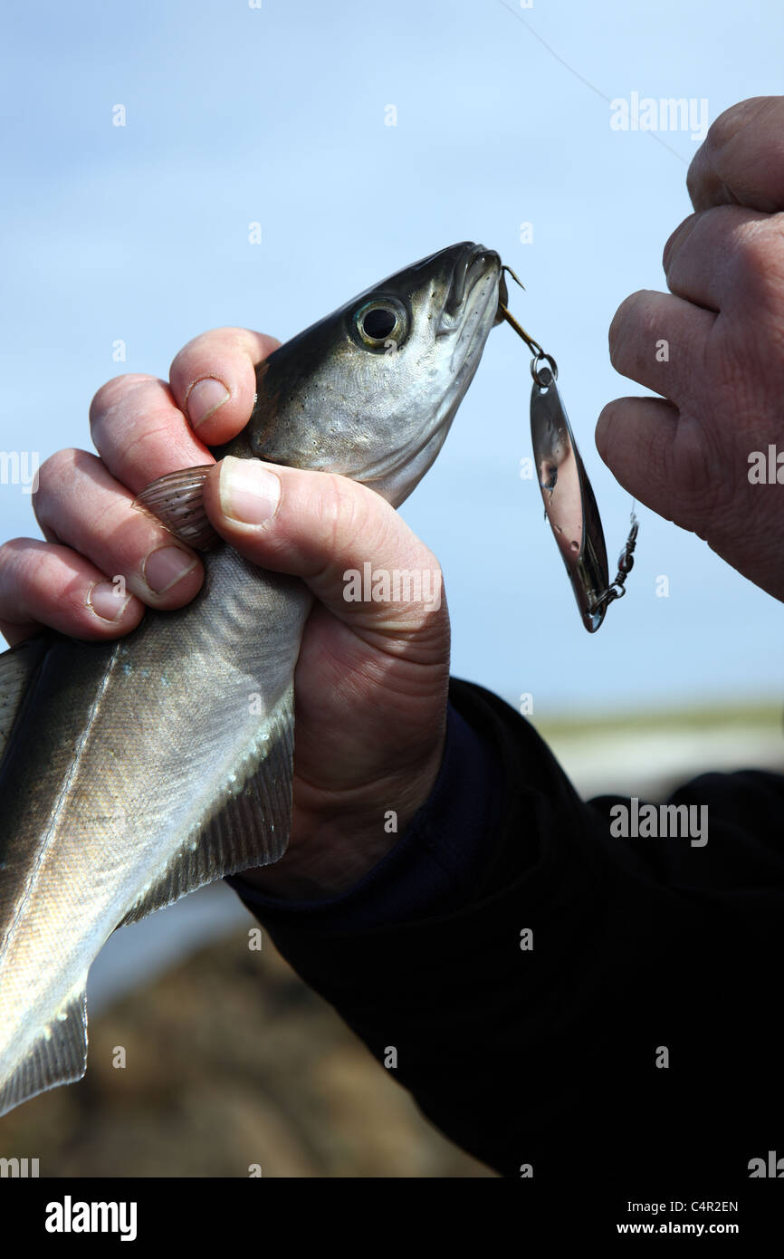 Fish caught on a hook - Stock Image