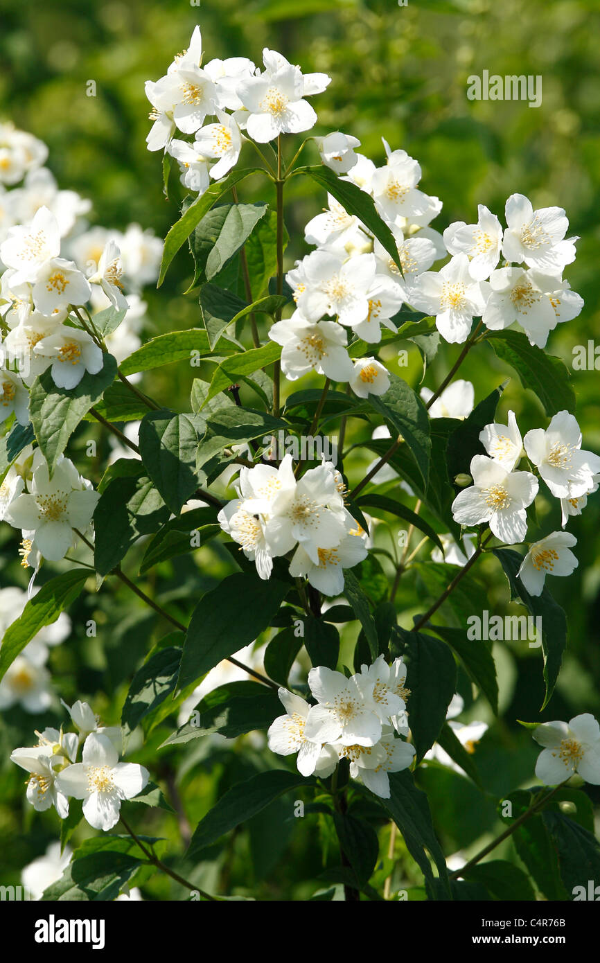 Jasmine flower stock photos jasmine flower stock images alamy jasmine flowers stock image izmirmasajfo