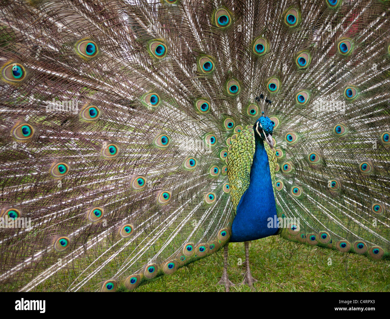 Peacock with feathers extended in courtship display, close up. Stock Photo