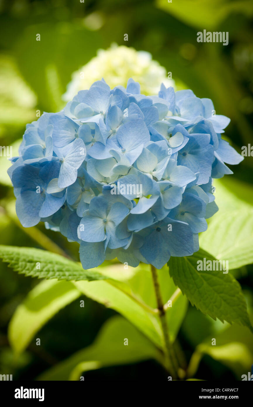 Single blue Hydrangea flower growing in a garden - Stock Image