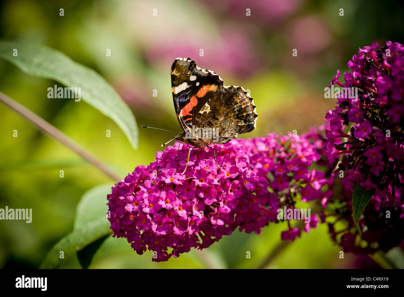 Red Admiral Butterfly sitting a Buddleia davidii flower. - Stock Image
