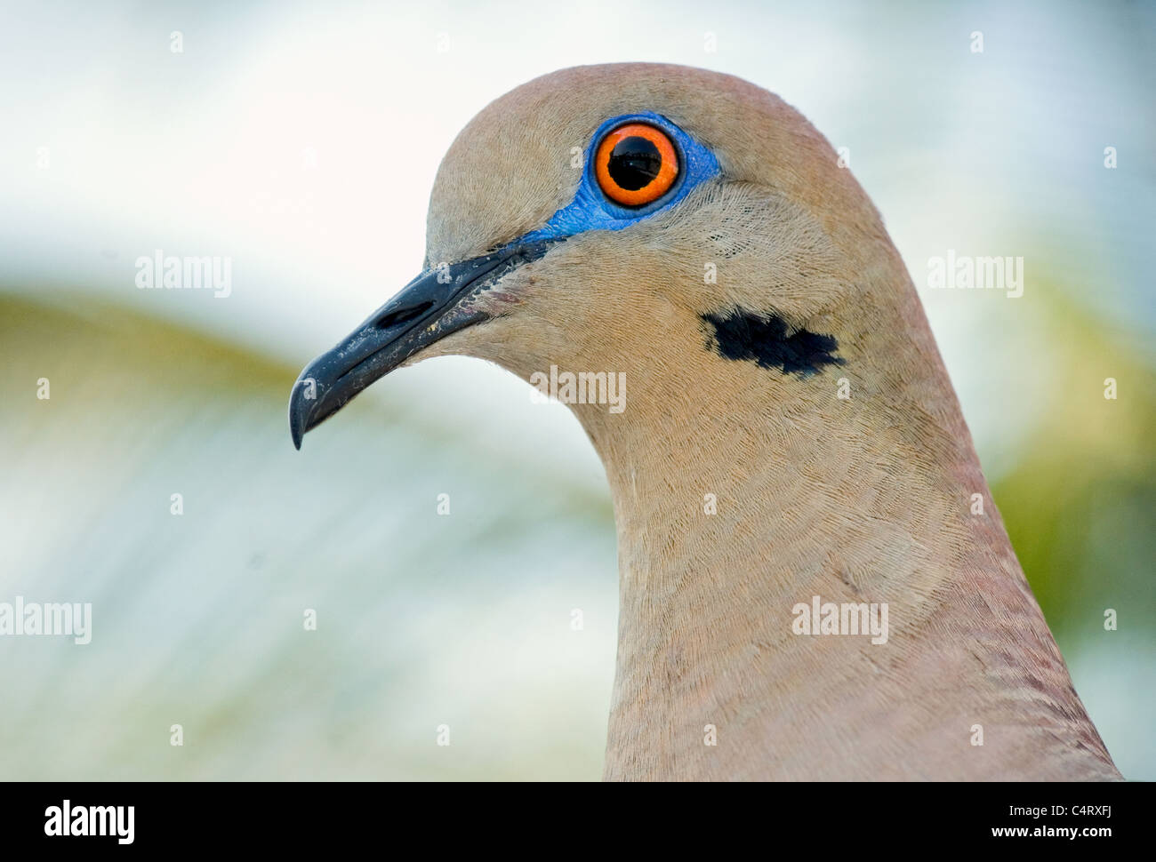white-winged-dove-closeup-C4RXFJ.jpg